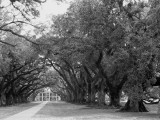 Oaks of Oak Alley Plantation