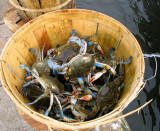 Louisiana Blue Crabs Fresh from Lake Pontchartrain