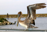 Brown Pelican- Louisiana's State Bird