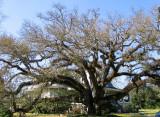 The Bonnabel Oak