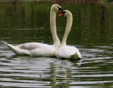 Romance of the Swans