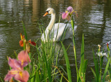 Swan and Louisiana Irises