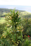 Waianapanapa - Flora