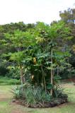 Road to Hana - Papaya Trees