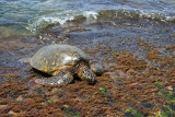 Laniakea Beach - Turtle Eating Seaweed