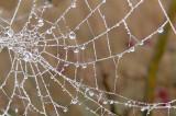 Misty Morning Pearls