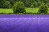 Dappled Light on the Lavender Field