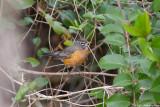 Robin 8650