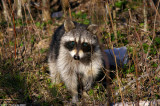 February 15th, 2007 - Racoon 10354