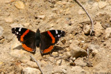 April 16th, 2007 - Red Admiral 14810