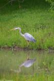 Blue Heron 14998.jpg