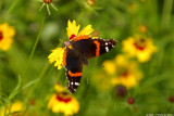 May 9th, 2007 - Red Admiral 15680