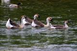 Ducks in a row 16084.jpg