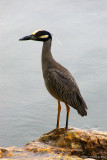 Heron 16137.jpg