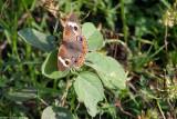 Common Buckeye 15617.jpg