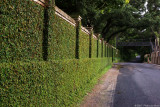 Ivy Wall 18105.jpg