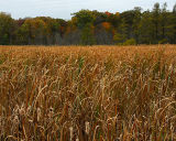 Autumn Field Of Cattails