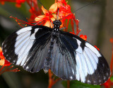 Grinning Heliconian (aka Blue and White Longwing or Cydno Longwing)
