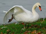 Swan At The Lake In Autumn