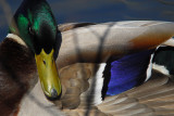 Close-ups Of A Male Mallard Taken Through Tall Reeds