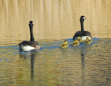 The Canadian Goose Goslings Have Arrived!
