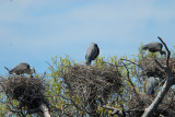 Four Great Blue Heron Nests