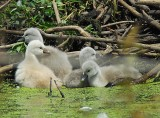 Cygnets At The Swan's Nest