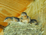 Barn Swallows' Nest