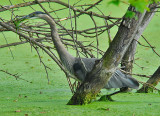 Great Blue Heron Walking In The Gook With A Fish