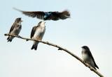 Swallow Feeding Time