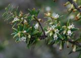 Pukiawe Flowers