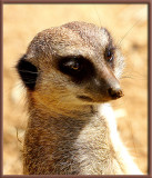 :: Mischievous Meerkats ::