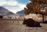 Yak in front yard