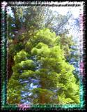Sequia Tree Tops