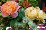 The Impressionist, Golden Celebration, flowering oregano (forget bot name)