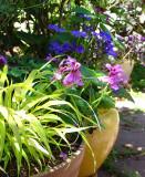 Hakonechloa Macra, Pelargonium, Cinneraria