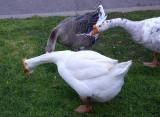 Joanne's Geese
