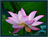 6th: lotusby jrdu