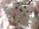 5th: Cherry Blossoms