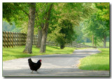4thchicken crossing road