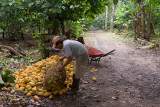 Picking Cacao-2