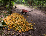 Picking Cacao-3