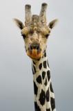 Giraffe-2