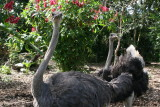 Unusual (but funny) inhabitants of the jungle lodge - ostriches are normally found in Africa..