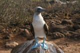 my favourite bird blue-footed booby