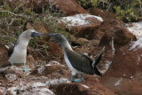 blue-footed boobies mating ritual