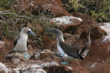 blue-footed boobies mating ritual, spot the lifting of left leg