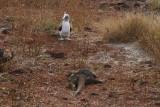 blue-footed booby and a land iguana