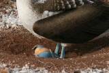 blue-footed booby with an egg