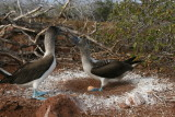 blue-footed boobies nesting